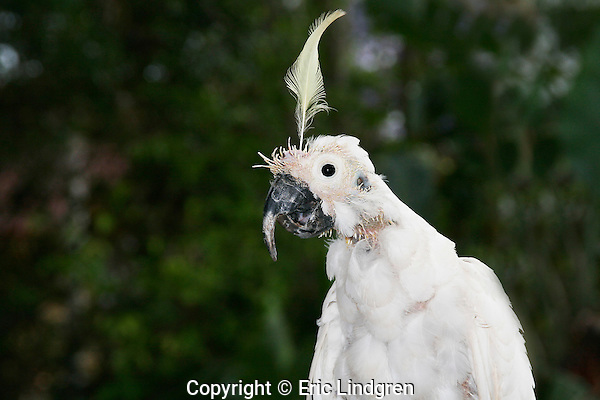 "Sulphur-crested Cockatoo with Beak & Feather Disease, Brisbane Australia. // Sulphur-crested Cockatoo - Cacatuidae (=Psittacidae): Cacatua (=Kakatoe) galerita. Length to 50cm (20""), wingspan to 105cm, weight to 800g. Found in Australia from the Kimberley Region in northern Western Australia, eastwards in savannah woodlands to Cape York, then south to eastern south Australia - occurs from coastal forests to inland sparse woodlands. Also in Tasmania.  In New Guinea occurs in lowland forests to about 1000m altitude, and scaattered small islands adjacent to the coast. Introduced to south-west Western Australia. Feeds on seeds and huge flocks may become a pest in agricultural areas.  IUCN Status: Least Concern.  // Beak & Feather Disease = Psittacine Beak & Feather Disease (PBFD) - is caused by a virus (Family Circoviridae) transmitted by inhalation, or direct contact with infected surfaces.  PBFD is found mainly in parrots and cockatoos, but all psittacine species may be susceptible to infection. It destroys the feather follicle, causing deformation of new growing feathers. Ultimately the follicle is destroyed, feathers are unable to form, and as the bird cannot fly death is inevitable in the wild. The beak may be deformed, as in this bird where it is laminated and elongated due to incorrect growth, and feeding is inhibited.  //Eric Lindgren//"