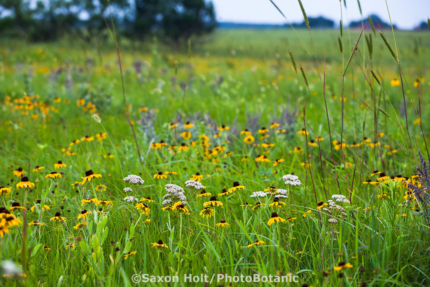 Tallgrass Prairie Preserve, Oklahoma with flowering Rudbeckia hirta, Yarrow (Achillea millefolium) and Wildrye grass.