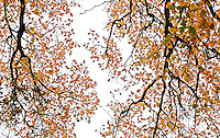 Looking up at Quercus kelloggii, California Black Oak tree with leaf pattern in fall color silhouette