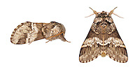 71.010 (2014)<br /> Marbled Brown - Drymonia dodonaea