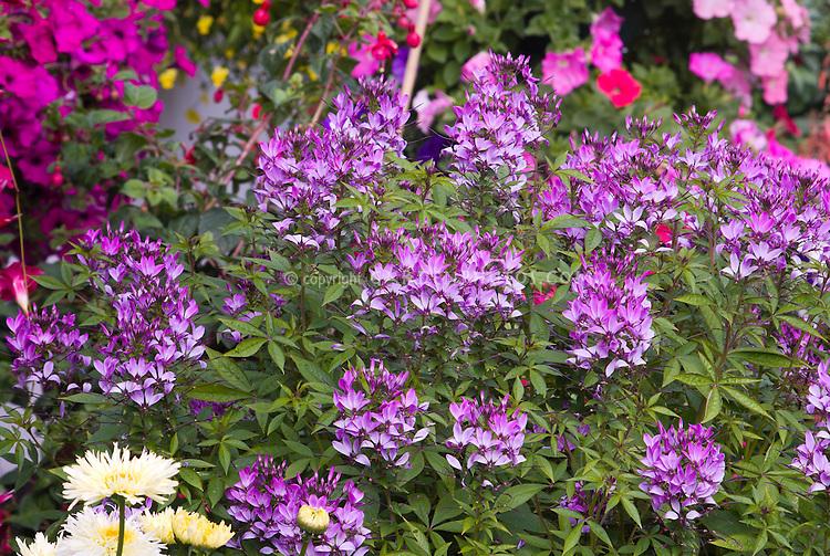 Cleome Senorita Rosalita, bushy annual lavender pink flowers, spider flowers