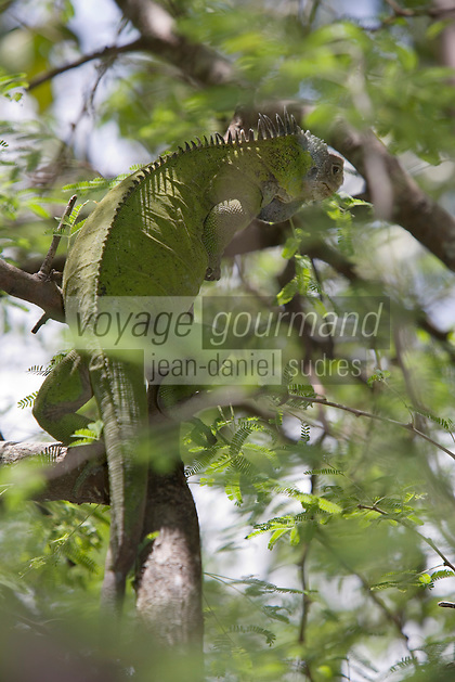 France/DOM/Martinique/Env Le Robert/Ilet Chancel : Femelle Iguane