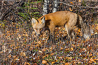 Red Fox (Vulpes vulpes) near the Yukon/British Columbia border.  Sept.