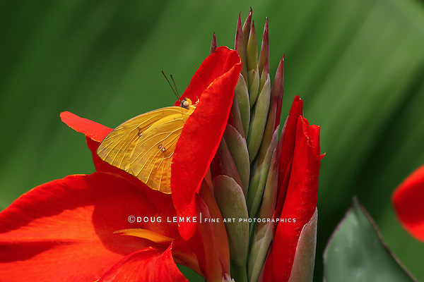 A Small Butterfly At Rest, Cloudless Sulphur, Phoebis sennae,