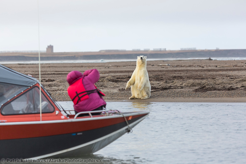Photographer takes a picture of polar bear from a boat along Alaska's arctic coast.