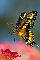 Giant Swallowtail Butterfly (Papilio cresphontes) inflight--about to land and nectar on blossom.