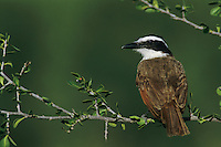Great Kiskadee, Pitangus sulphuratus,adult, Starr County, Rio Grande Valley, Texas, USA