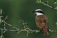 Great Kiskadee, Pitangus sulphuratus,adult, Starr County, Rio Grande Valley, Texas, USA