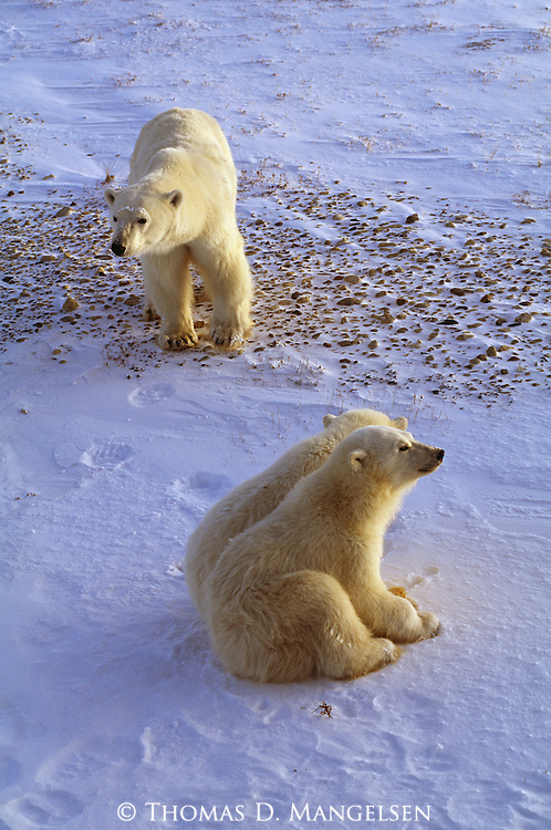 A polar bear mother stands near her two resting cubs in Churchill, Manitoba, Canada.