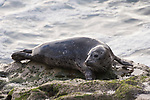 La Jolla, California; a young harbor seal resting on the rocks at the edge of the water as waves crash around it