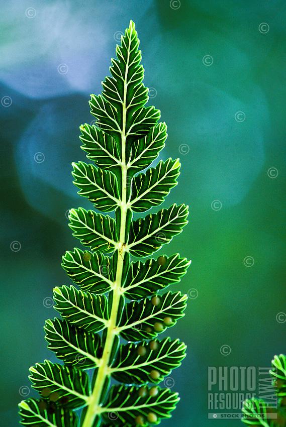 Native rare fern marratia douglasi.