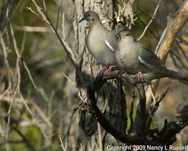 Pair of White-winged doves (male & female) perched on a tree in the spring in the Big Bend area of Texas