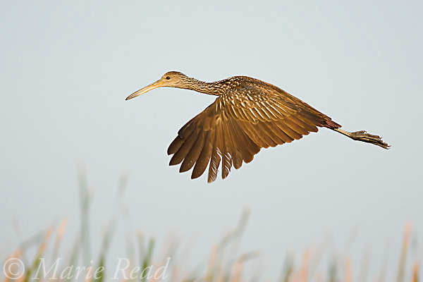Limpkin (Aramus guarauna), in flight, Osceola County, Florida, USA