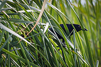 "A Great-tailed grackle takes refuge in the tall grass surrounding the pond at an urban park known as ""The Duck Pond"" in San Lorenzo, California."