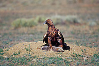 Golden Eagle (Aquila chrysaetos) with rabbit it has caught, Western U.S.