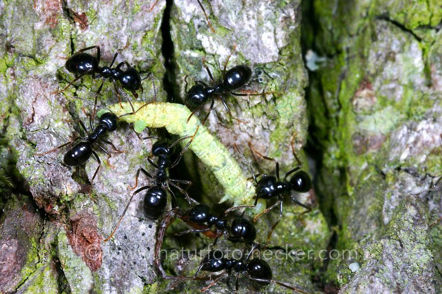 Glänzendschwarze Holzameise, Schwarze Holzameise, Holz-Ameise, Ameise, Kartonnestameise, Lasius fuliginosus, Dendrolasius fuliginosus, jet ant, shining jet black ant