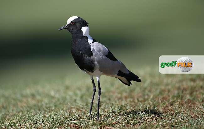 Noisy bird gets right on ya' nerves and then dive bombs you,  during Round One of the 2016 Tshwane Open, played at the Pretoria Country Club, Waterkloof, Pretoria, South Africa.  11/02/2016. Picture: Golffile | David Lloyd<br /> <br /> All photos usage must carry mandatory copyright credit (&copy; Golffile | David Lloyd)