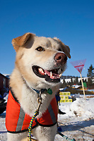 Close up of Bill Pinkham's dog *Silas* at the Elim checkpoint during the 2010 Iditarod