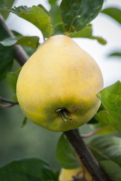 Quince 'Agvambari', mid September. A small, round, pear-shaped variety originally from Turkey.