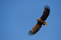 White tailed sea eagle, Haliaeetus albicilla, from fishing boat, on sea eagle safari tours in the Stettin lagoon, Poland, Oder river delta/Odra river rewilding area, Stettiner Haff, on the border between Germany and Poland