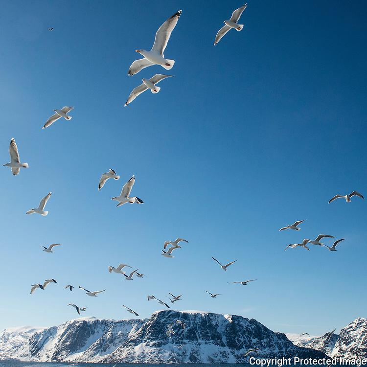 Måker følger båt ut fra Hønseby. ---- Seagulls following boat.