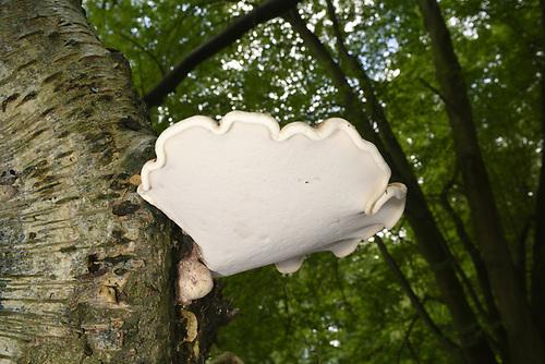 Birch Polypore - Piptoporus betulinus