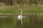 Trumpeter swan swimming in a wilderness lake in Wisconsin