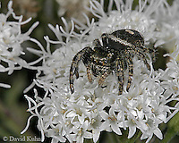 1001-06tt  Jumping Spider - Family: Salticidae - © David Kuhn/Dwight Kuhn Photography
