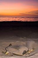 Australian flatback sea turtle, Natator depressus, female digging nest at sunset, Crab Island, off Cape York Peninsula, Torres Strait, Queensland, Australia