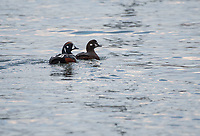 Harlequin Ducks, Homer, Alaska. Photo by James R. Evans.