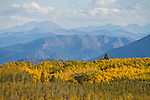 A grove of golden aspen trees during autumn in the High Sierra, jeffery pines, Monitor Pass, Alpine County, Calif.