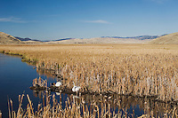 Trumpeter Swan, Cygnus buccinator, pair at lake, National Elk Refuge, Wyoming, USA