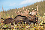 Bull moose in rut. Roosevelt National Forest, Colorado.