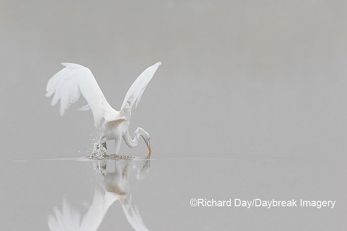 00688-02316 Great Egret (Ardea alba) fishing in wetland in fog, Marion Co., IL