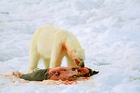Polar bear, Ursus maritimus, feeding on seal, summer, Spitsbergen, Svalbard, Norway, Arctic Ocean, polar bear, Ursus maritimus
