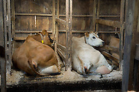 Jersey cows in a wooden cubicle house lying down...Copyright..John Eveson, Dinkling Green Farm, Whitewell, Clitheroe, Lancashire. BB7 3BN.01995 61280. 07973 482705.j.r.eveson@btinternet.com.www.johneveson.com