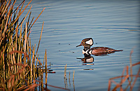 Male Hooded Merganser in profile in evening ilght