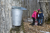 Children collecting sugar maple sap from buckets