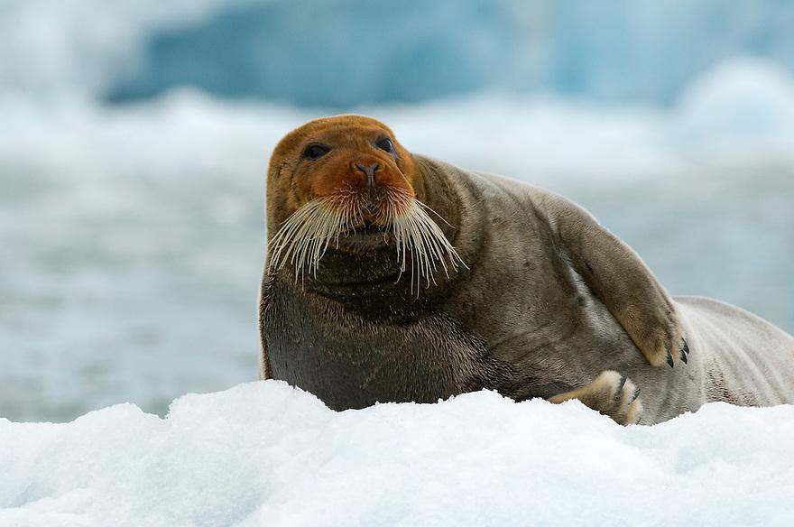 bearded seal / Erignathus barbatus<br /> Svalbard<br /> Norway