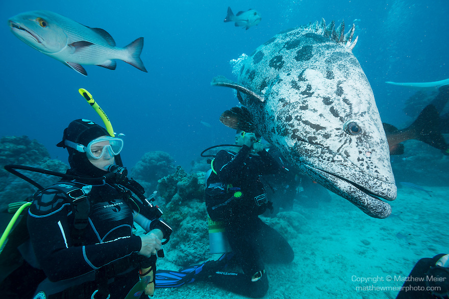 Cod Hole, Great Barrier Reef, Australia; a scuba diver watches as a potato grouper swims past during a feeding dive