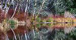 USA, Oregon, Fort Stevens State Park, intricate forest scenics near Crabapple Lake, red alder (Alnus rubra)
