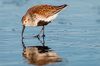 Dunlin (Calidris alpina) feeding along ocean beach, spring migration, Pacific Northwest Pacific Ocean coastline.