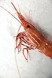 CANADA, Vancouver, British Columbia, Spotted Prawn, aboard the boat Organic Ocean