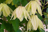 Clematis koreana AMBER ('Wit141205') winner best new plant at Chelsea Flower Show 2016, yellow flowered perennial vine