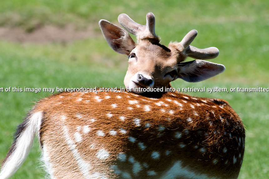 Young Fallow Deer Itching his back