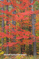 64776-01413 Red tree and fall color Schoolcraft County Upper Peninsula Michigan