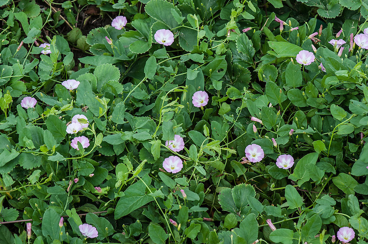 A strawberry patch invaded by Field bindweed (Convolvulus arvensis), early August.