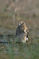 541450006 a wild adult female northern harrier circus cyaneus a large raptor waits to take a drink from a small pond in the rio grande valley in texas
