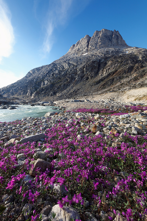 Dwarf fireweed and mountain, Sammileq Fjord, Ammassalik Island, East Greenland