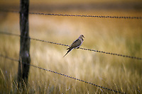 Bird on a barbed wire fence.